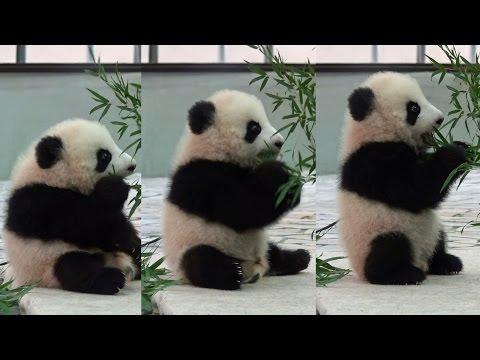 桜浜 Panda baby  パンダ アドベンチャーワールド