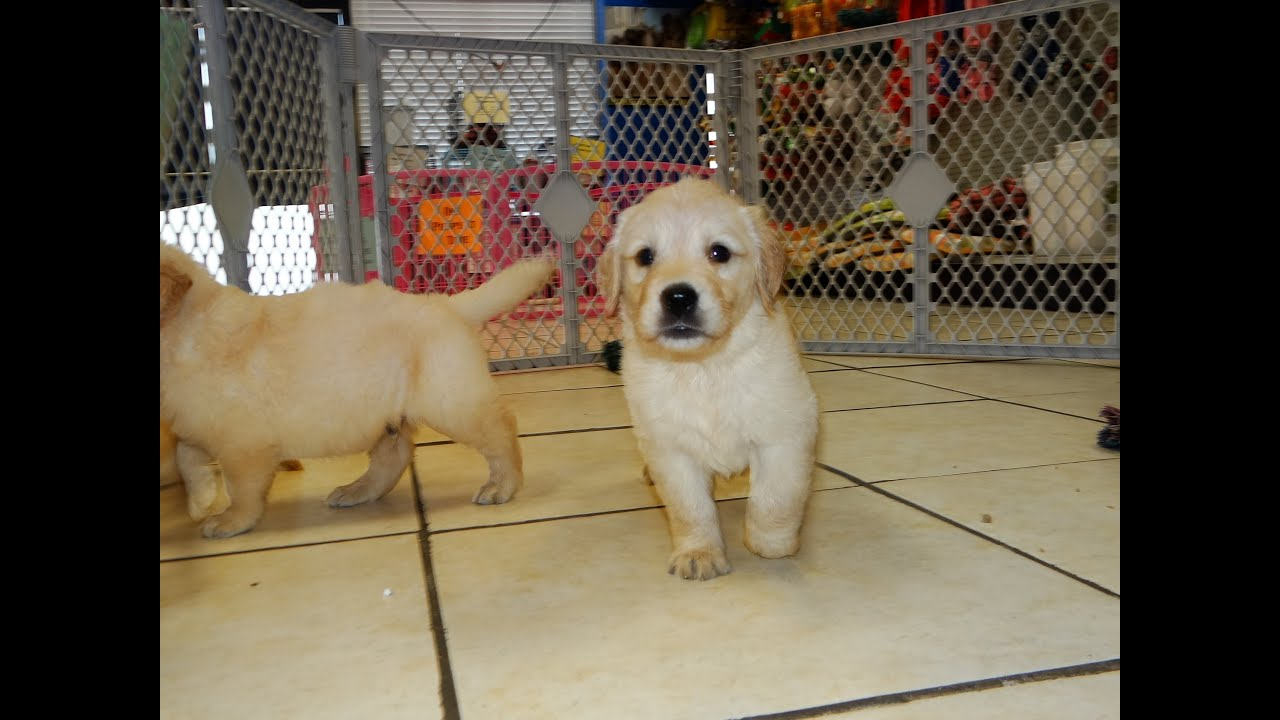 Golden Retriever Puppies Dogs For Sale In Charlotte North