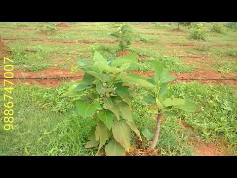 Anjoor/Fig Plants 🌿 Cultivation 🐛 and Nursery  🌱🌱🌱