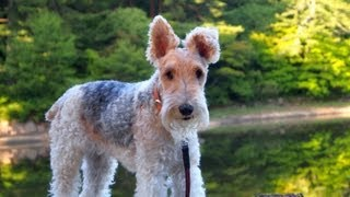 I went on a picnic with a wire fox terrier 'nana' She is my dearest...