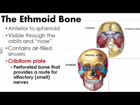 Cranial Bones and Sutures