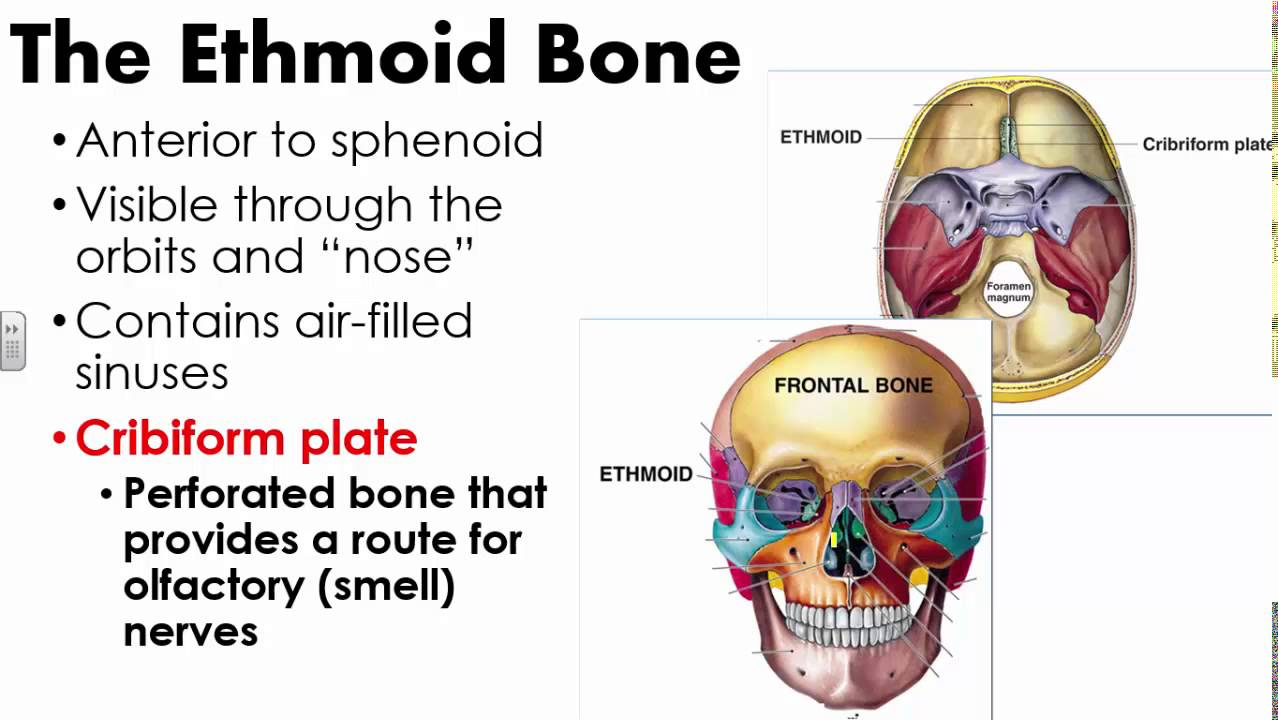 Cranial Bones and Sutures - YouTube