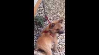 Pomeranian X Chihuahua Puppy