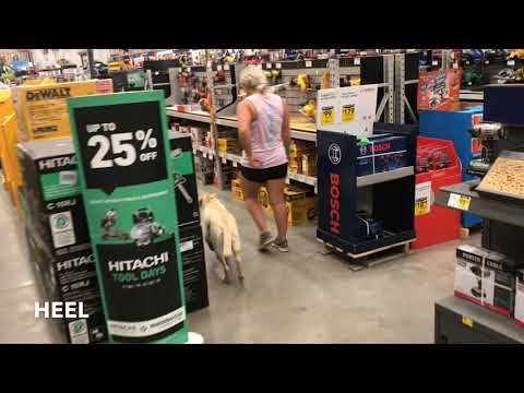 6 Month Old Yellow Lab   Best Lab Training Oklahoma   Off Leash K9   Board and Train   Oklahoma