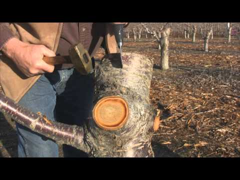 How to GRAFT a Cherry Tree