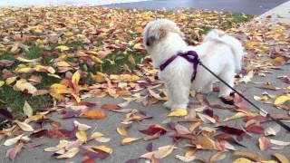 Halloween Walk With Louie (the Shih Tzu)