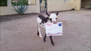 Special Delivery! Cute animals - baby donkey delivers the mail!   [Funny animal videos]