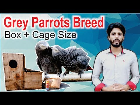African Grey Parrot Pair Breeding Box and Cage Size Video Urdu/Hindi
