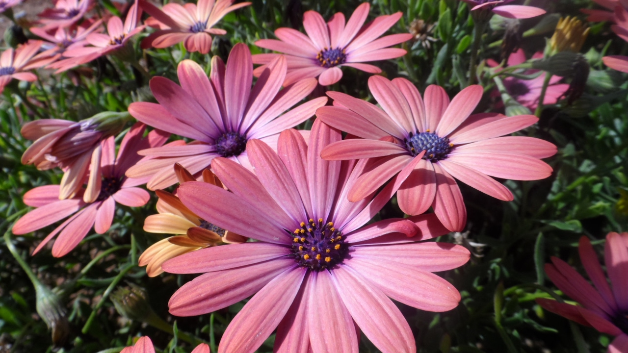 Цветы ромашка низкорослая