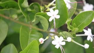 茄萣濕地植物系--苦林盤Qieding wetland flora-Glory Bower