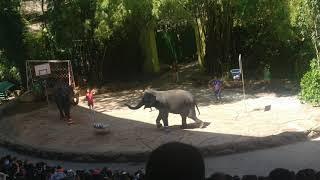 Elephants playing football #bangkokmarinepark