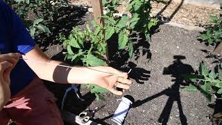 Tomato Maintenance For Huge and Healthy Plants Explained