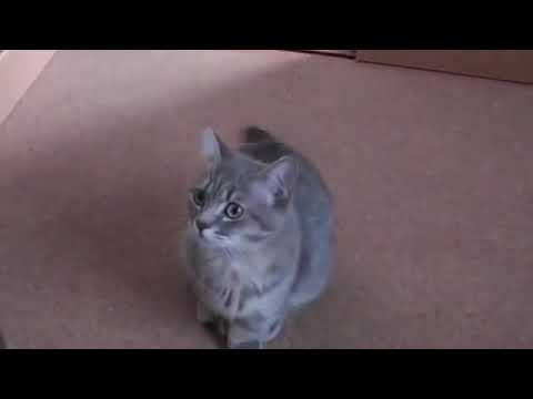 The cat meowing, meow and hissing