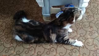 Что делать когда у кошки (кота) начался сезон течки