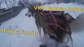 Vlog Ездовая Собака Аляскинский Маламут Не Хаски Домашний Волк Сани Нарты Шлейка Катаемся на Собаках