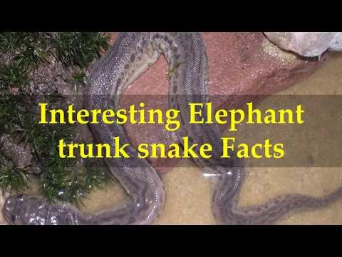 Interesting Elephant trunk snake Facts