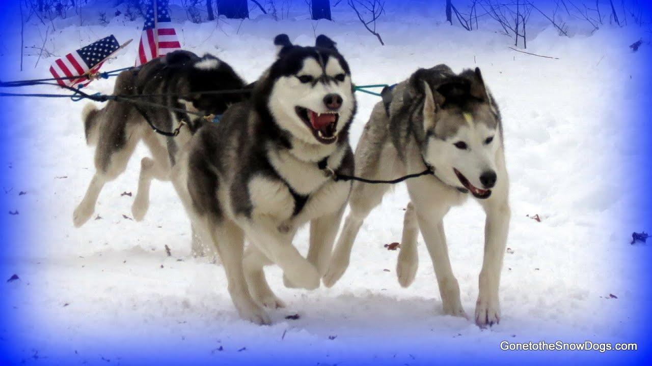 Siberian Huskies In Slow Motion Sled Dog Races Indian River 6 Dog Teams Dog  Sledding  Youtube