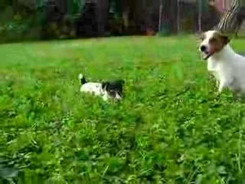 Cuccioli Jack Russell 2