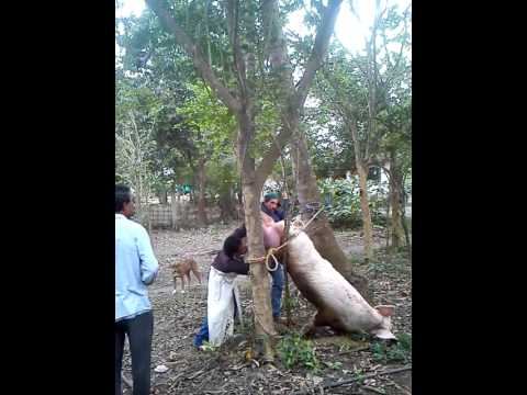 Copia de Castración cerdo muy pesado