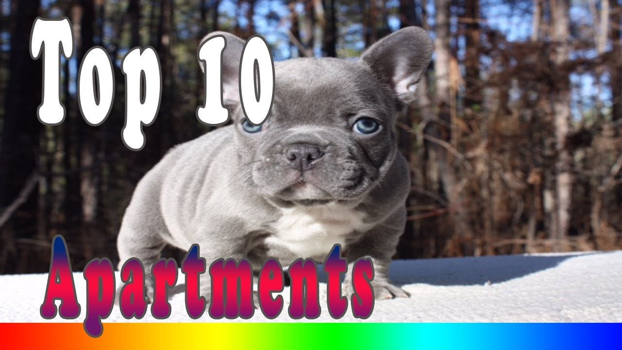 Best Apartment Dogs Top 10 Dog Breeds For Living