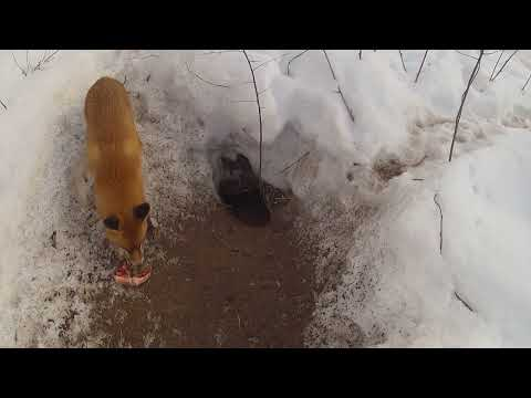 видео: лиса