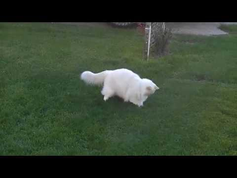 Cutest Ragdoll cat is jumping in the grass