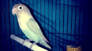 Love bird betina fighter gacor bakat konslet