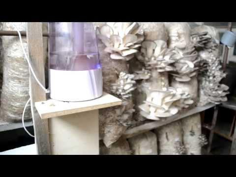 Выращивание гриба вешенки в домашних условиях, как
