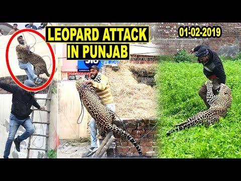 Leopard enters Indian Village in Jalandhar, Punjab, Attacks People |जालंधर तेंदुआ