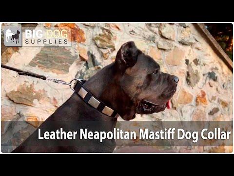 """Italian Elegance"" - Gorgeous Neapolitan Mastiff and Cane Corso in Decorated Leather Collar"