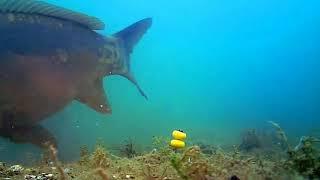 Ловля карпа на бойлы. Видео под водой.