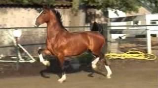 For Sale: DHH/Tuigpaard 6 year old bay mare. Lorton x Igor