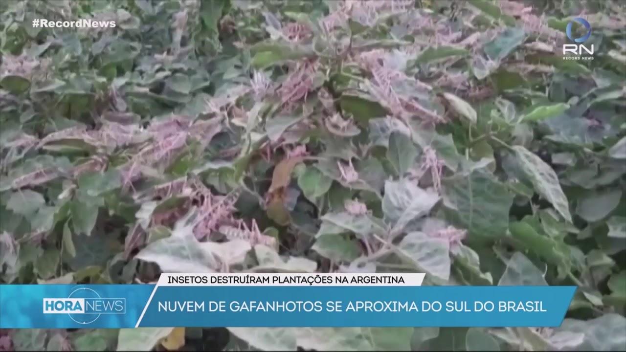 Locust Plague in South America - Part II   Traveler Ni ...