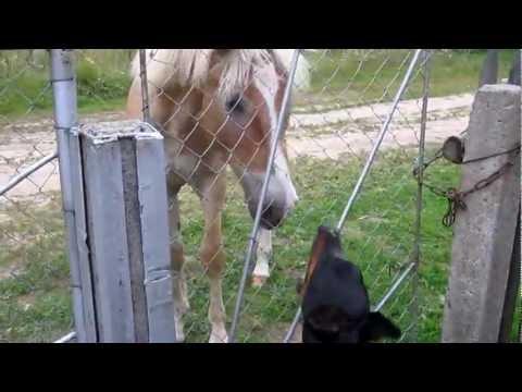 Doberman talking with horse