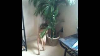 Dog trancing in tree thumbnail