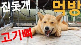진돗개 사랑이 고기뼈 먹방 영상+ 보너스 영상 (수정영…