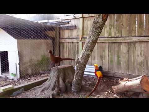 My Red Golden Pheasant , Ceasar's new home with 2 new female Red Goldens Pheasants