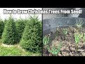 How To Grow A Christmas Tree From Seed-How to Grow Norway Spruce/Blue Spruce From Seed