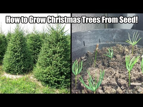 Christmas Tree Seeds.How To Grow A Christmas Tree From Seed How To Grow Norway