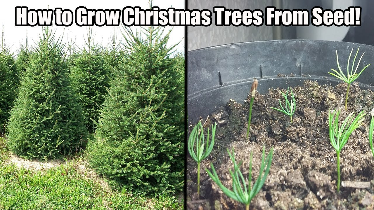 How Long Does It Take A Christmas Tree To Grow.How To Grow A Christmas Tree From Seed How To Grow Norway Spruce Blue Spruce From Seed