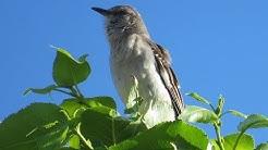 Mockingbird/Spottdrossel