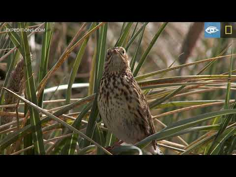 South Georgia Pipit | Year of the Bird | Lindblad Expeditions-National Geographic
