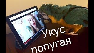 Попугай кусается! моя история! Александрийский попугай! укусы попугаев