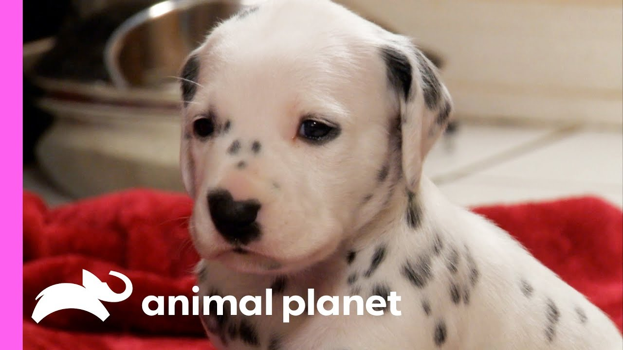 Fireman Becomes New Owner Of A Lovable Dalmatian Too Cute Youtube