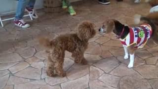 いろいろな犬と遊ぶトイプードル!ドッグカフェ【しっぽカフェ】 トイプ...