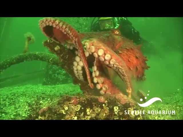 daring octopus escape at seattle aquarium or something else entirely