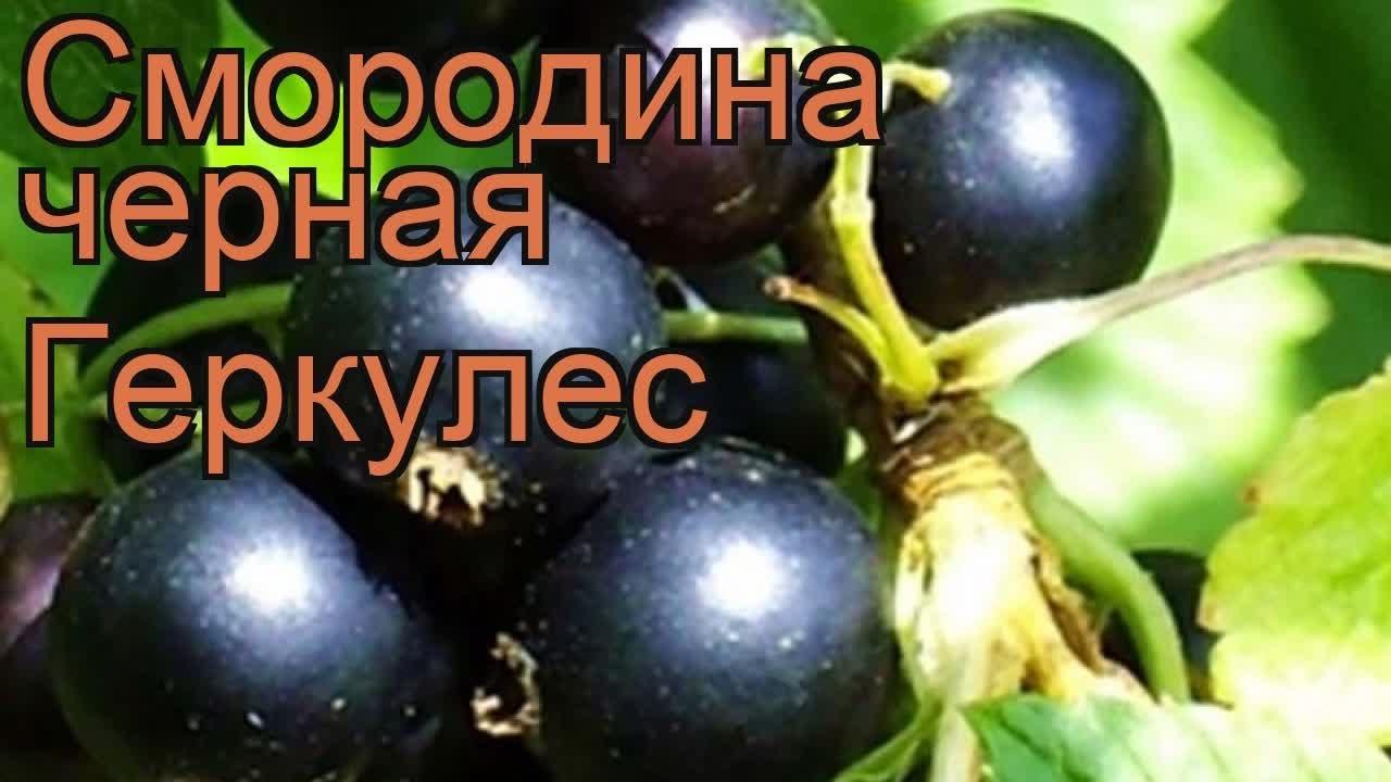 Смородина Венера - Семена и саженцы купить по лучшим ценам - YouTube