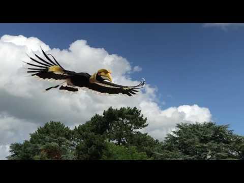 Hornbill fly by in slowmotion