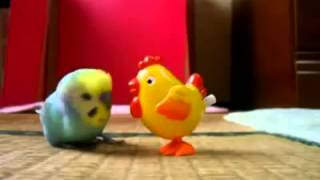 Попугай УБАЛТЫВАЕТ курицу! Смешные приколы