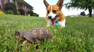 コーギー犬「岩かと思ったら…亀だったの!」(動画)